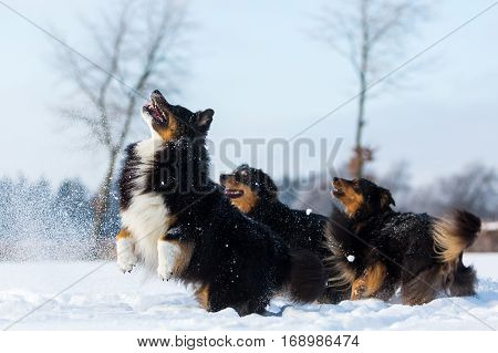 Three Dogs Have Fun In The Snow