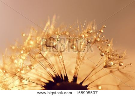 Dew drops on a dandelion seeds at sunrise close up. Soft focus. Nature background.