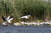 White Pelicans (Pelecanus Onocrotalus) Flying Over The Lake poster