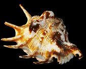 nice isolated sea shell with black background poster