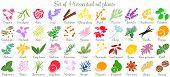 Big vector set of 44 flat style essential oil plants. Ylang-ylang, eucalyptus, jasmine, rose, cedar, lavenda, sandalwood, patchouli etc. For cosmetics, spa health care aromatherapy homeopathy Ayurveda poster