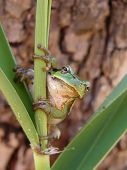 A tree frog on a reed fauna poster