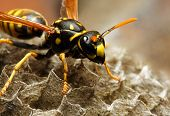 Close-up of a live Yellow Jacket Wasp poster