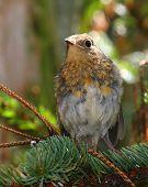 Young European Robin (Erithacus rubecula) poster