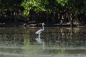 Tricolored Heron wading in tide pool at Fort De Soto poster