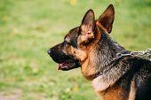 Close Up Alsatian Wolf Dog Or German Shepherd Dog On Green Grass Background. Deutscher Dog. poster