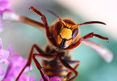 Close-up of a cheering European Hornet (Vespa crabro) - funny image. Macro shot with shallow dof. poster