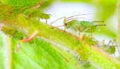 Green aphids on rose footstalk - unwelcome vermin in garden. poster