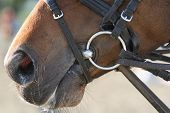 Picture of brown horse nose close up poster