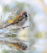 The male of a House Sparrow ( Passer domesticus ) on a twig over a spring flood. poster