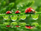 Three ladybugs running on a grass bridge over a spring flood. poster