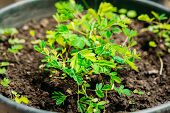 Small Green Sprouts Of Mimosa Pudica Growing From Soil In Pot In Greenhouse Or Hothouse. Mimosa Pudica Is A Sensitive Plant, Sleepy Plant, Dormilones, Touch-me-not, Or Shy Plant. poster