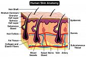 Human Body Skin Anatomy diagram infographic chart figure with all parts hair sweat gland artery vein supply blood vessel tissue dermis epidermis layers cross section biology science education vector poster