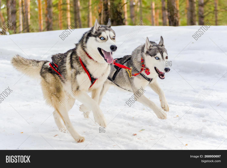 Two Siberian Husky Image & Photo (Free Trial) | Bigstock
