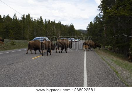 Buffalo Crossing A Road In Yellowstone National Park