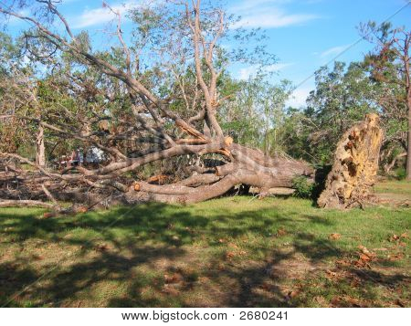 Katrina Kills A Tree