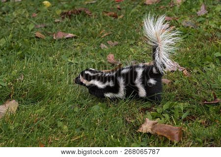 Eastern Spotted Skunk (Spilogale putorius) Runs Left - captive animal poster