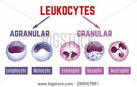 Leukocytes Types Scheme. Editable Vector Illustration With Blood Cells Infographic In Realistic Styl