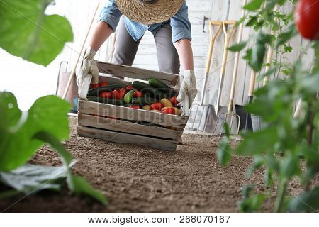 Woman In Vegetable Garden Holding Wooden Box With Farm Vegetables. Autumn Harvest And Healthy Organi