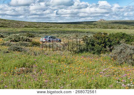 West Coast National Park, South Africa, August 20, 2018: Wild Flowers At Postberg Near Langebaan On