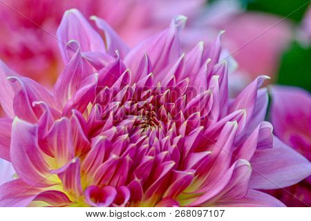 Gorgeous Pink Dahlia In Full Bloom, Closeup
