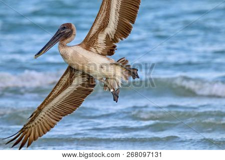Brown Pelican In Flight Above Sanibel Beach In Florida