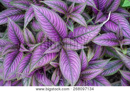 Beautiful Iridescent Metallic Looking Purple Silver And Green Persian Shield