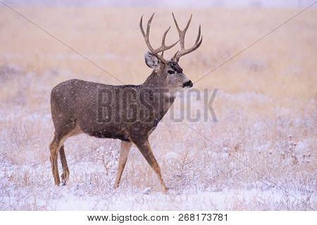 Wild Deer In The Colorado Great Outdoors. Mule Deer Buck On A Snowy Morning.