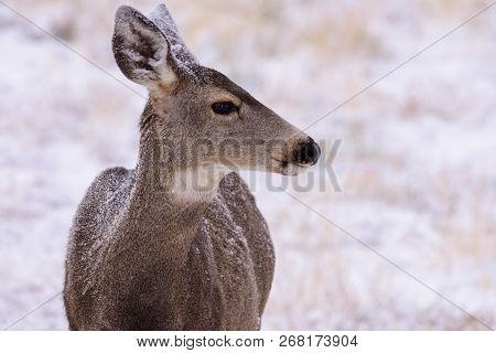 Wild Deer In The Colorado Great Outdoors. Mule Deer Doe In A Snow Covered Field.