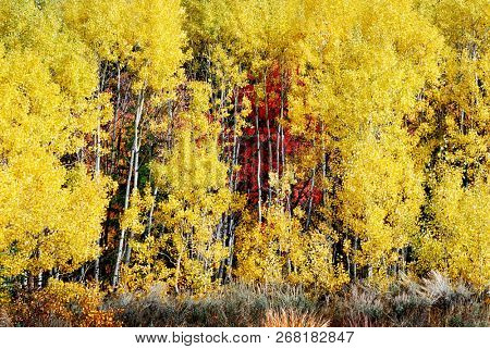 Aspen tree with white trunk birch forest and golden leave in the wilderness