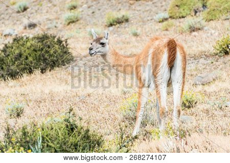 Curious guanaco lama (Lama guanicoe) in the endless grass pampas of Argentina