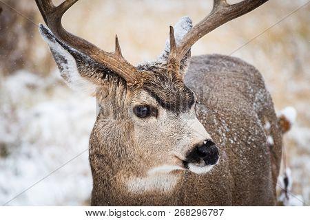 Mule Deer Buck In Snow. Wild Deer In The Colorado Great Outdoors