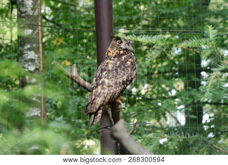 A Beautiful Eurasian Eagle-owl Sitting On Branch And Looking On Camera And Waiting For Lunch Or Some