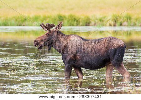 Wild Shiras Moose In The Rocky Mountains Of Colorado. Bull Moose Feeding On Lake Grass
