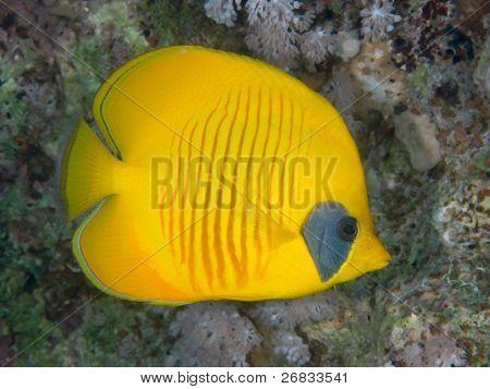 Reef fish bluecheek butterflyfish