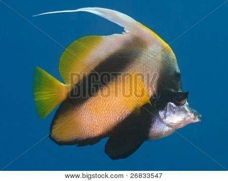 Reef fish Red sea bannerfish