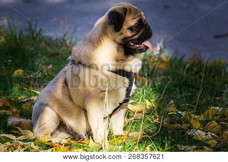 Pug Dog On The Leaves In Autumn