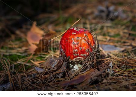 Amanita Toxic Poison Red Mushroom In The Forest Close Up. Macro Photography