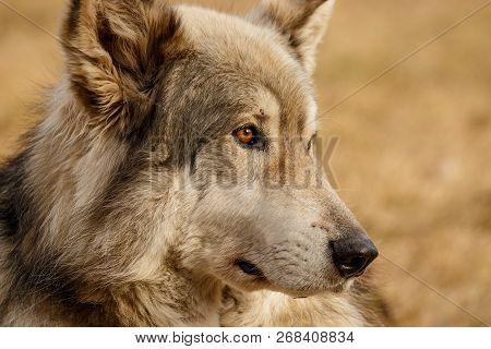 Low Content Wolf In Yamnuska Sanctuary, Canada