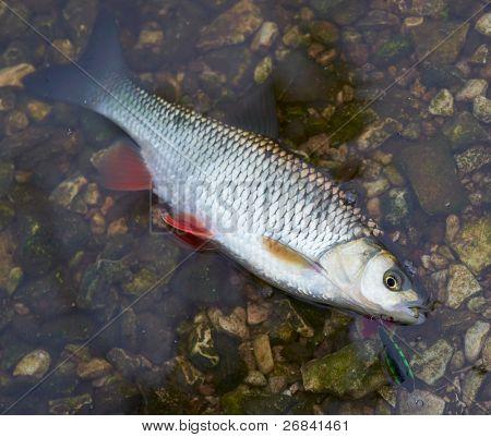 Chub caught on a hardbait lying in water