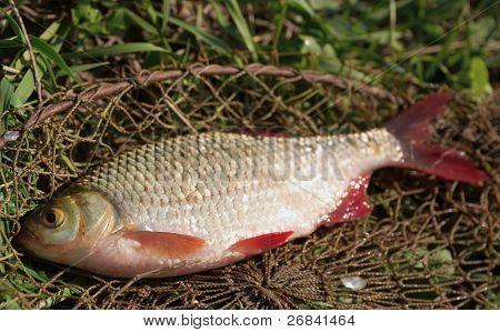Just caught rudd lying on fishing net, natural light