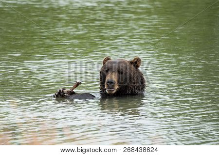 Alaskan Grizzly Bear Sits In The Water, Eating A Stick With His Two Paws And Claws, Giving A Goofy S