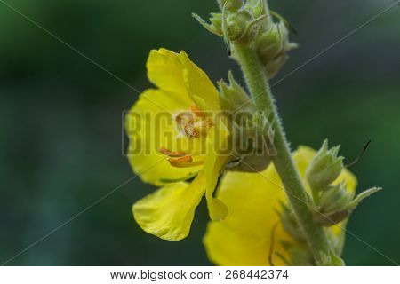 Dark Mullein, V. Nigrum, Mullein, Velvet Plant Tall Plants With Yellow Flowers . Medicinal And Honey