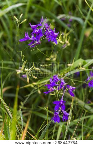 Consolida Regalis, Forking Larkspur, Rocket-larkspur, And Field Larkspur Purple Small Flowers On The