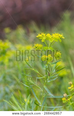 Euphorbia Virgata, Leafy Spurge Lettuce Small Flowers Gathered In Inflorescences. Plant With Milk In