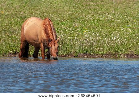 The Horse Stands In The Water Of The Pond And Drinks Water From There. Horses At The Site Of Waterin