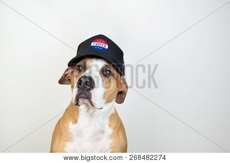 American Election Activism Concept: Staffordshire Terrier Dog In Patriotic Baseball Hat.  Pitbull Te
