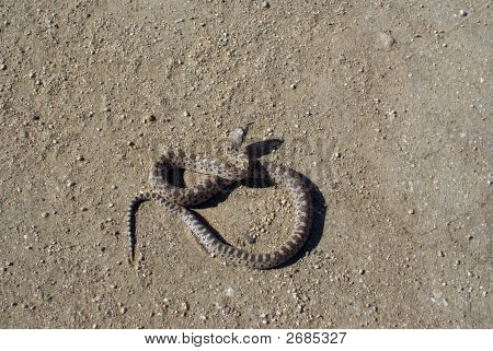 This young Gopher Snake can easily be mistaken for the venomous Rattlesnake poster