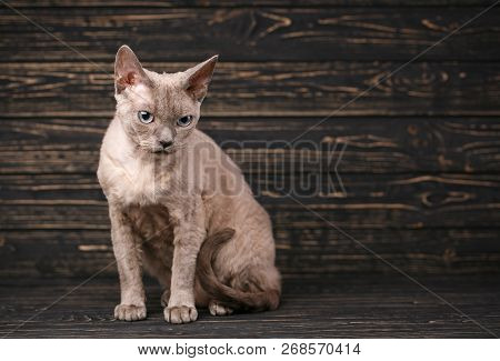 Thoroughbred Cat. Exhibition Of Cats Concept. Beautiful Devonian Rex Cat