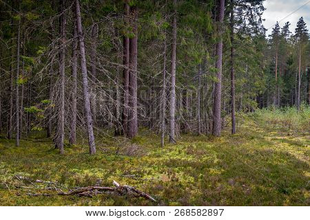 Mossy Coniferous Forest In Latvia. Fir And Pine Forest. Mixed Wood Of Pine And Spruce Trees. Conifer